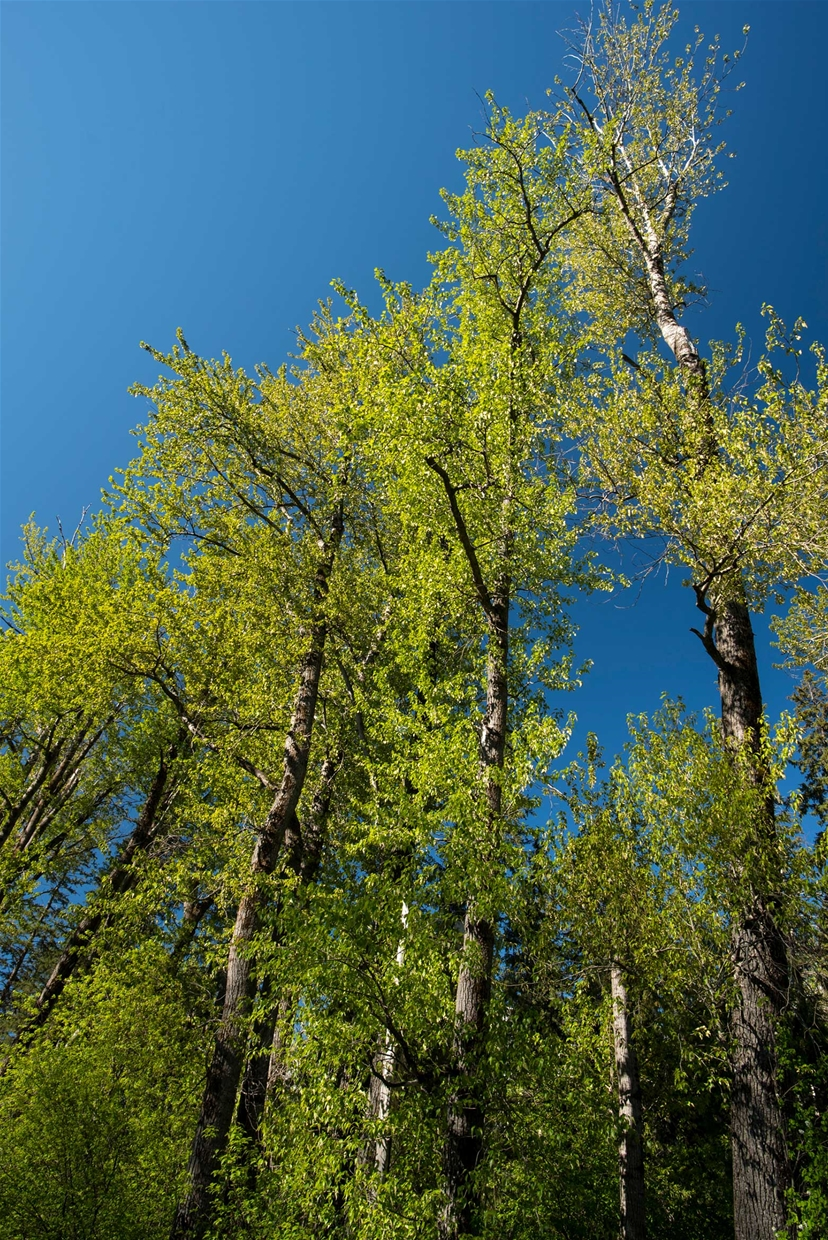 Ancient Cottonwood Forest - credit: Steve Ogle