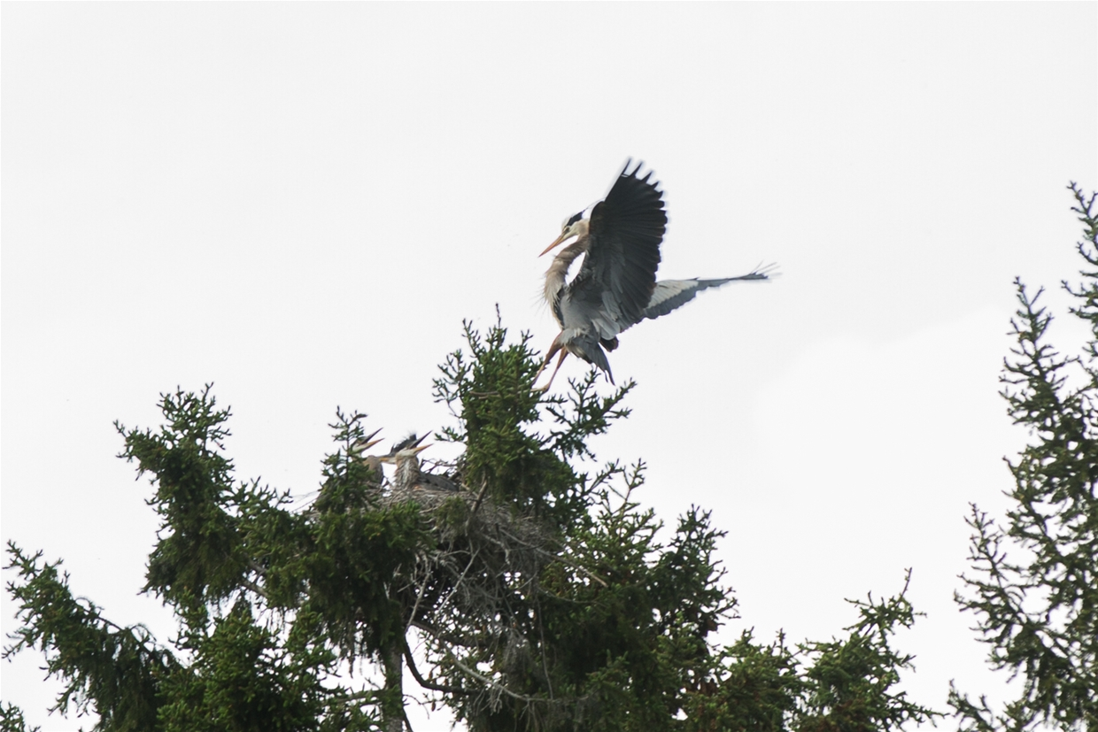 Herons nesting near Maiden Lake