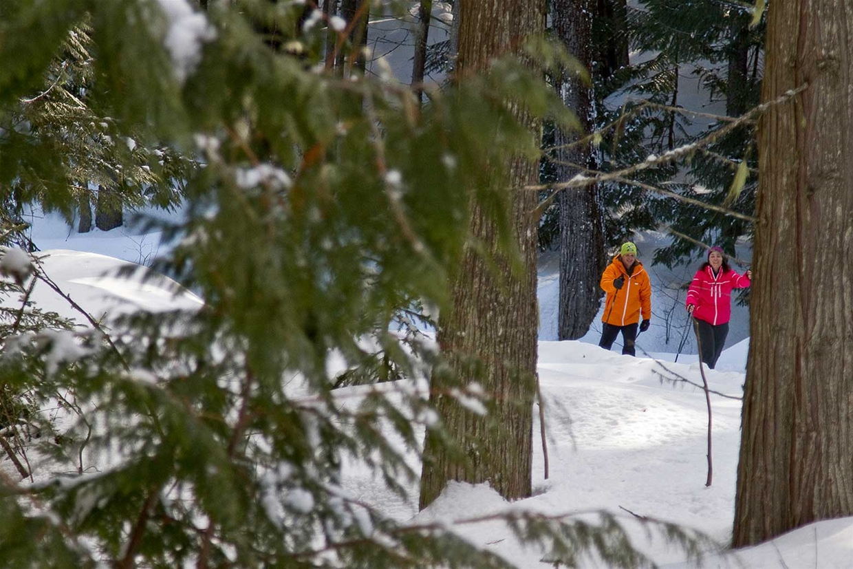 Nordic skiing along side giant cedar trees at Fernie Alpine Resort