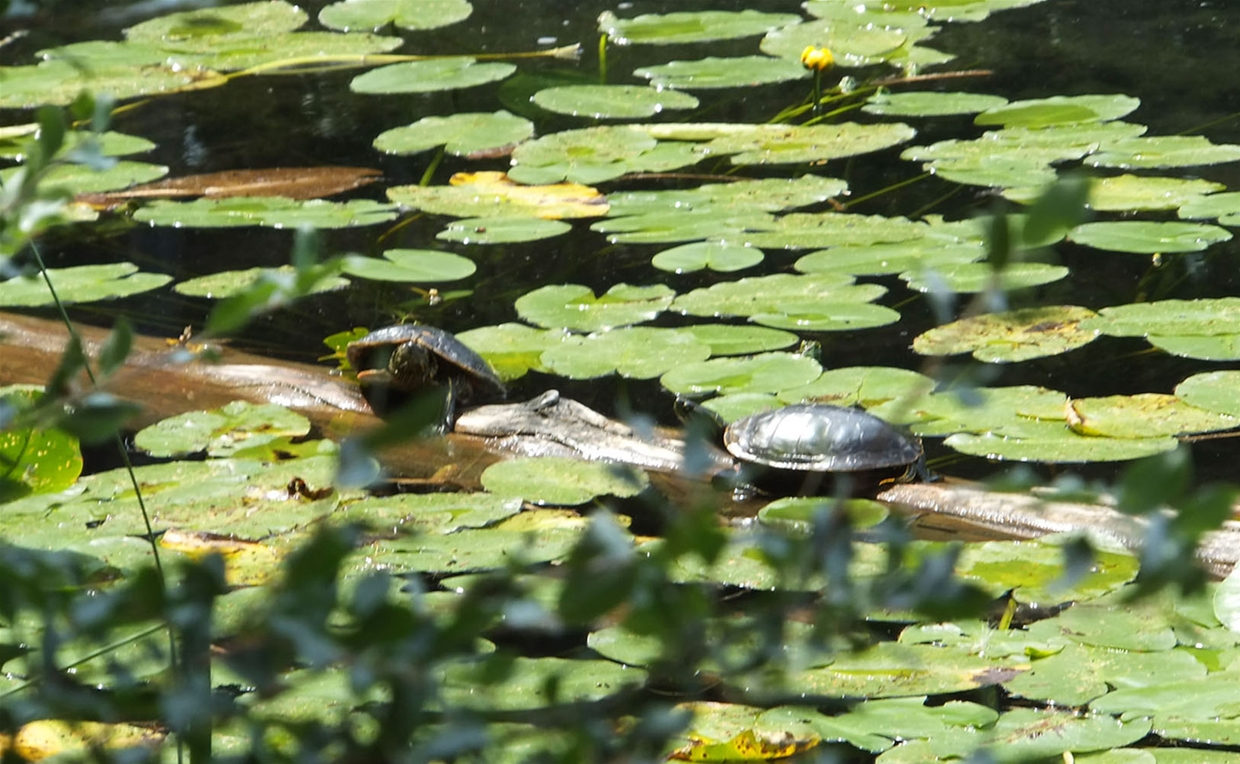 Surveyors Lake - Painted Turtles